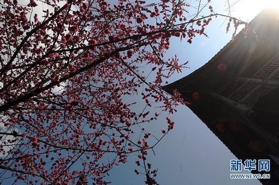重庆一千年古镇梅花绽放 吸引众多游客前往游玩