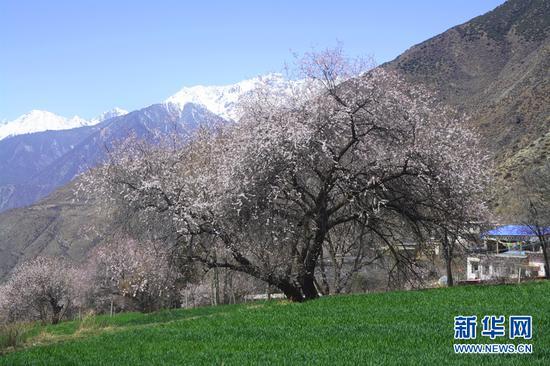 藏地秘境桃花开 雪山映粉红