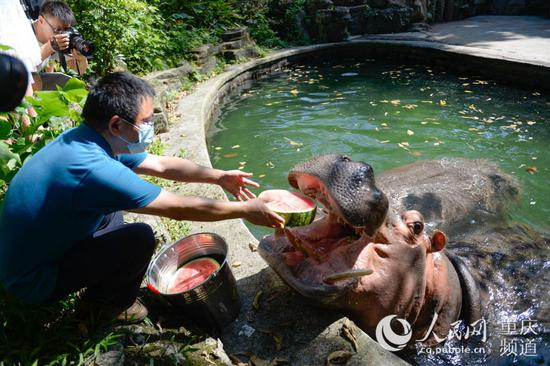8月4日,重庆动物园,河马吃西瓜。邹乐 摄