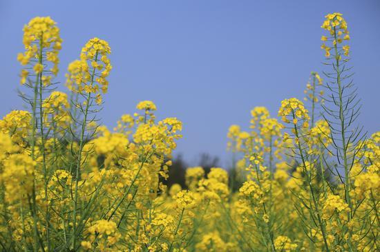 满目金黄!重庆广阳岛大片油菜花盛开美如画