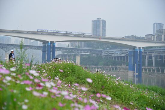 轨道列车穿过主城格桑花海的美景 你一定不要错过