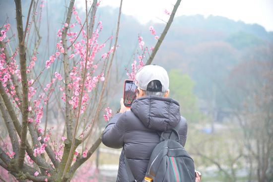 沙坪坝红梅盛开 游客花式打卡忙拍照