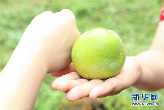 布朗李比普通李子大,平均重量达120克,最大能达到每颗300克。新华网发(渝北宣传部供图)