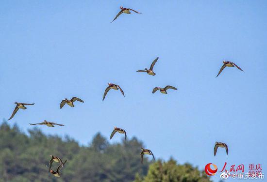 野生鸳鸯成群结队飞抵南川山王坪越冬