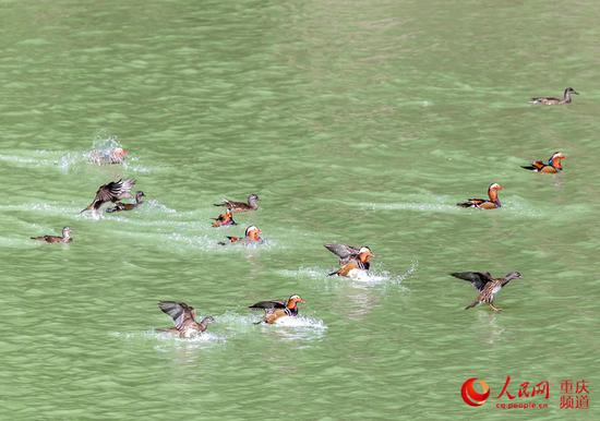 因生态变好,成群野生鸳鸯飞临南川山王坪越冬。瞿明斌 摄