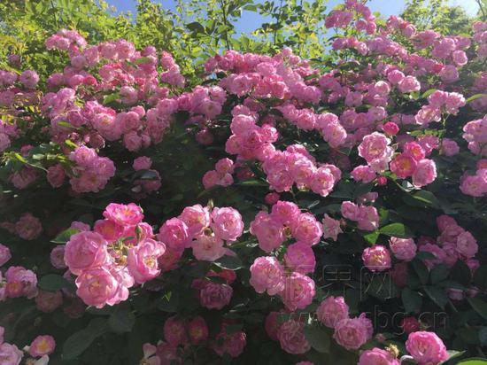 """重庆一公园蔷薇盛开 现壮观""""花墙""""美景"""