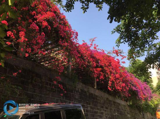 万州一小区花开得太漂亮!美得像童话!