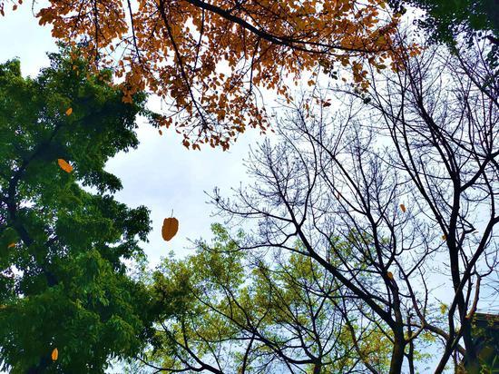 秋天来了?重庆李子坝公园春季秋景引发游客围观