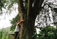 神奇红豆杉:树下路过能解渴