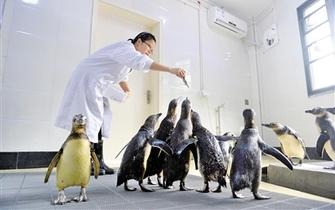 10只麦哲伦企鹅现身重庆 萌宠逗人