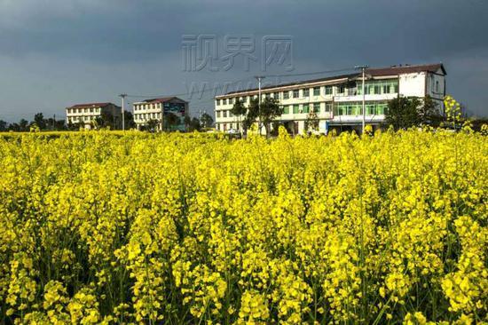 重庆油菜花盛开 瞬间变成金色的海洋