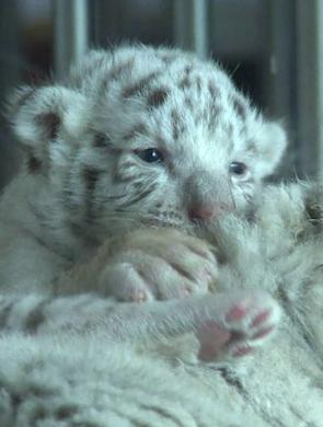 重庆动物园产罕见白虎宝宝 激萌可爱