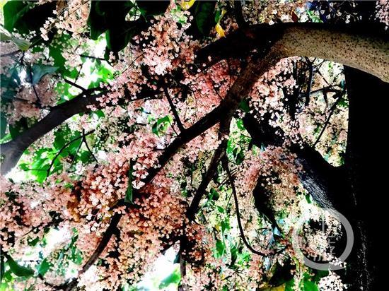 """重庆盛开罕见""""苹婆花"""" 花枝如瀑布"""