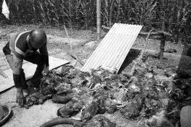 农户养鸡场遭不明动物袭击 80只鸡一夜被咬死