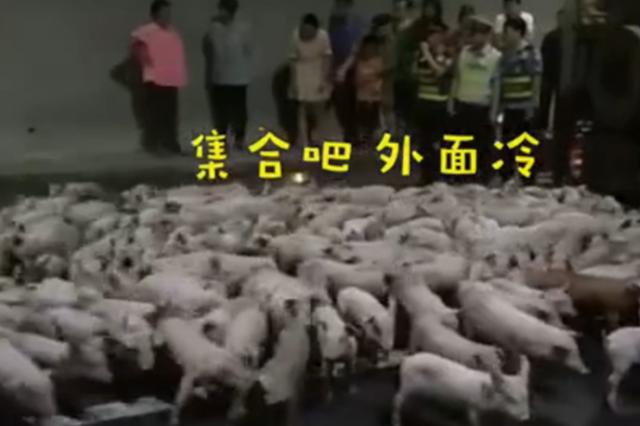 莫名喜感!货车爆胎侧翻,200只小猪隧道内撒欢