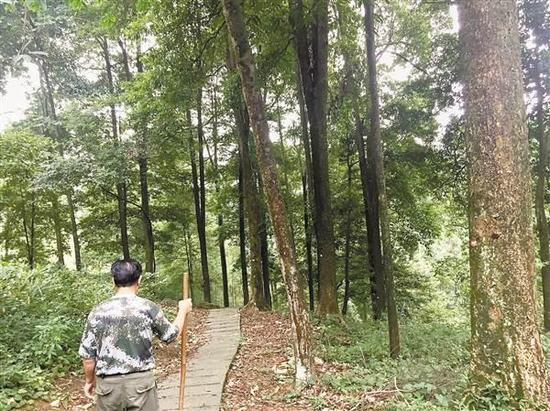 护林员在张家湾林场巡查楠木林。记者 周雨 摄