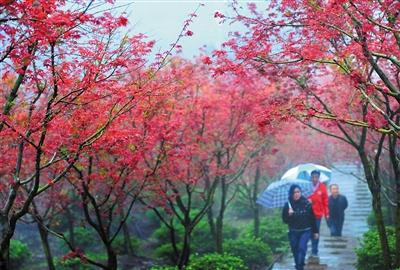 雨中赏红叶,别有滋味。 本报记者 杨新宇 摄