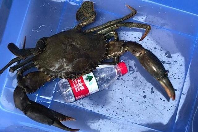 3.2斤野生青蟹王被捕后绝食两天 被做成青蟹糯米粥