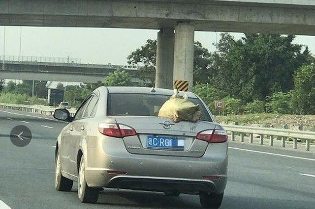鸭子坐轿车后面看高速风景 交警:这个可以罚200元