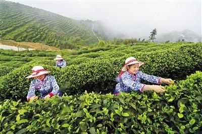 江津富硒茶种植基地