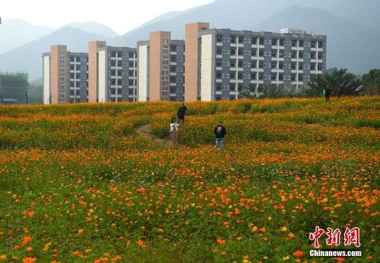 重庆一高校上万平米格桑花盛开 形成美丽花海
