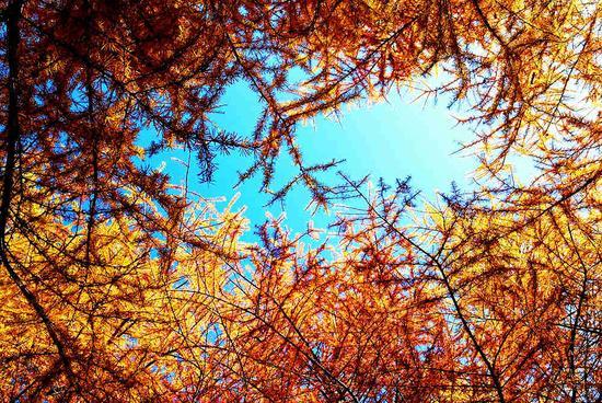 """航拍红池坝落叶松 蔓延在冬季的""""童话"""""""