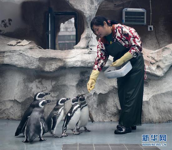 企鹅到了重庆也怕冷!选择在空调房内的泳池中畅游
