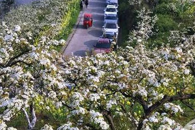 綦江永新万亩梨花盛开 市民享受乡间最美春天