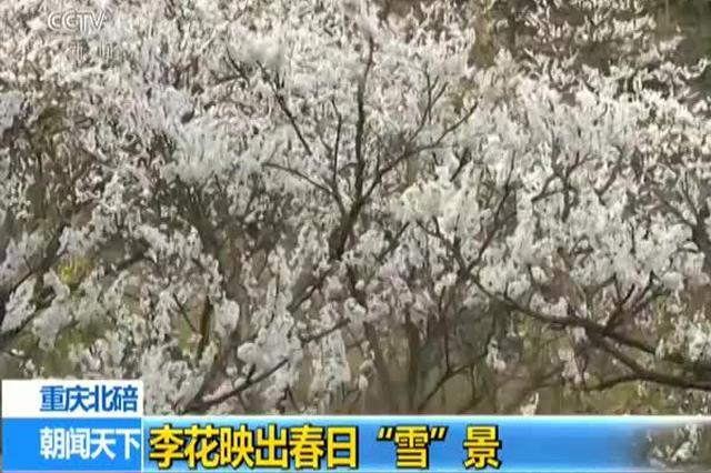 """重庆北碚:李花映出春日""""雪""""景"""
