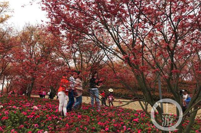 满屏油菜花看腻了?这里有两万株世界上最红的红枫