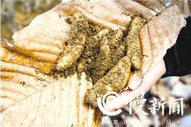 重庆男子种出了中国乌天麻半壁江山 曾亏掉几百万
