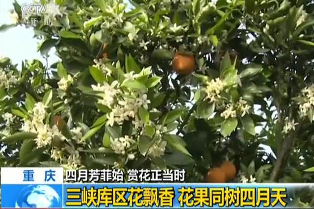 重庆:三峡库区花飘香 花果同树四月天