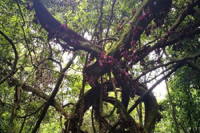 稀奇!重庆千年古树开紫花 市民慕名来参观(图)