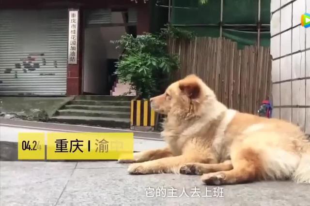 """重庆15岁网红狗""""熊熊"""":每天轻轨站等主人下班"""