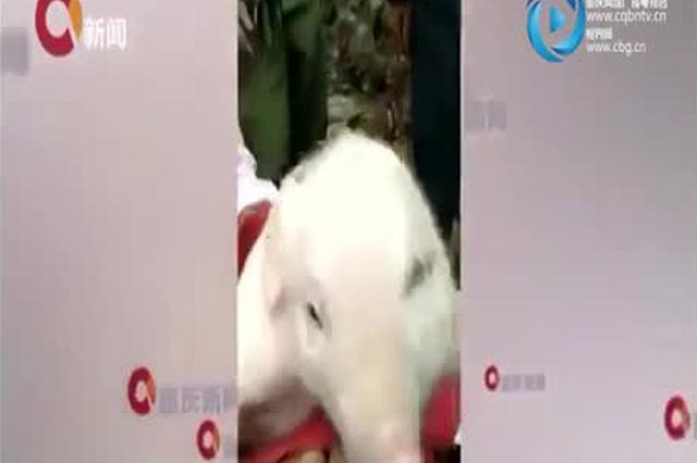 """重庆诞生罕见""""双头小猪"""" 专家解释属于基因变异"""