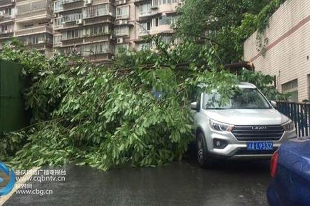 10厘米粗黄桷树被风吹断 2000多居民上班出行受阻