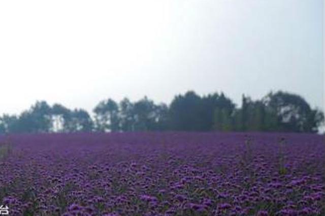 许你一片浪漫紫色花海 重庆这里的马鞭草已盛放