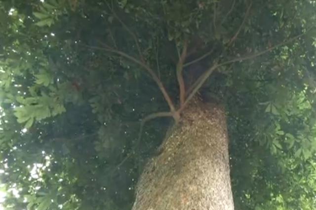 潼南设立重庆首个楠木生态公园 最大一棵金丝楠树龄300年