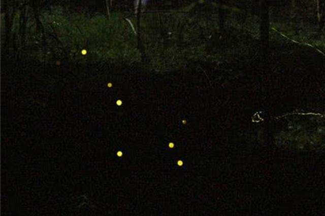 上万只萤火虫漫天飞舞有多神奇?大学城萤火谷本周开放