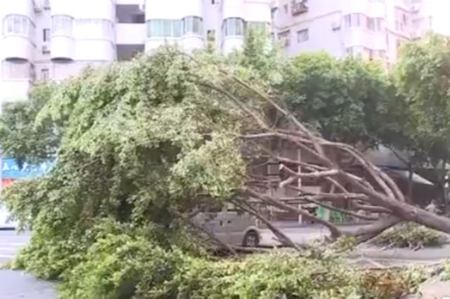 九级大风在巫山吹了近20分钟 八棵行道树被连根吹起