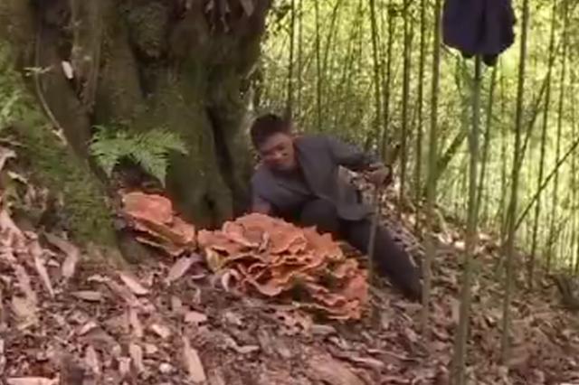 """村民发现巨型""""蘑菇"""":直径一米二 超二十斤"""