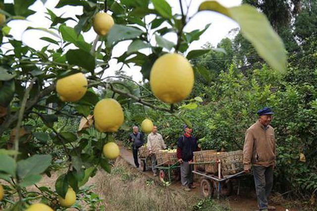 位于柏梓镇的万亩柠檬基地。黄益远 摄