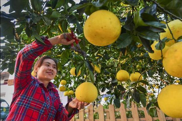 重慶首屆柚博會11月10日開幕 梁平邀你品遍全國名柚
