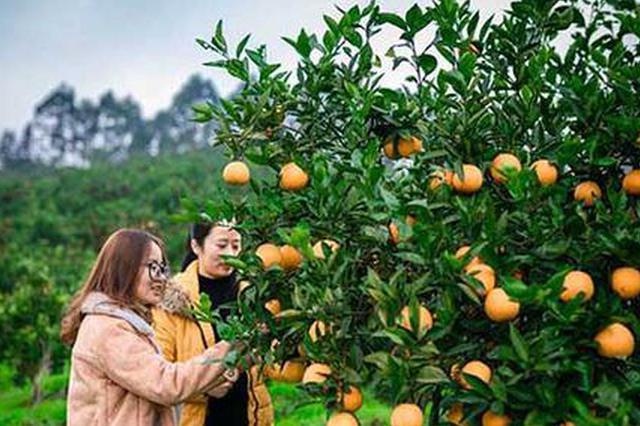 江津600亩甜橙进入采摘期 预计产量将达50万斤