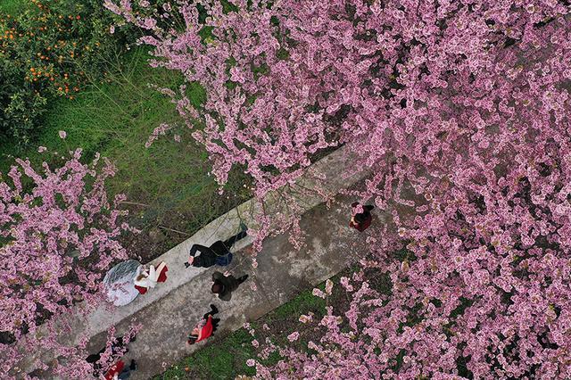 航拍重庆暖春樱花 浪漫满树如云霞似霞[组图]