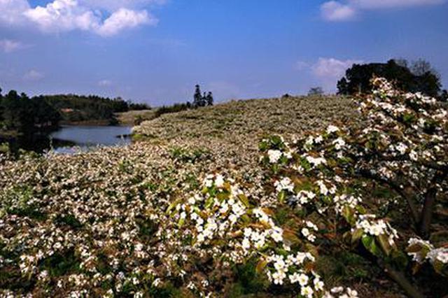 永川黄瓜山梨花节开幕 6万亩梨花将迎最佳赏花期