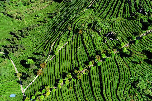 无人机航拍:重庆酉阳3000余亩高山乌龙茶开采