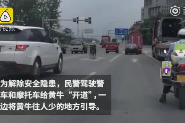 这是真的牛!重庆警车为黄牛开道 将其引回屠宰场