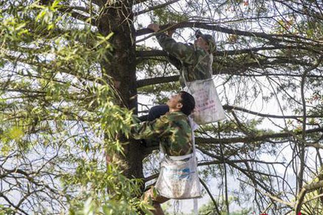"""重庆三兄弟39年接力守护""""植物熊猫"""""""
