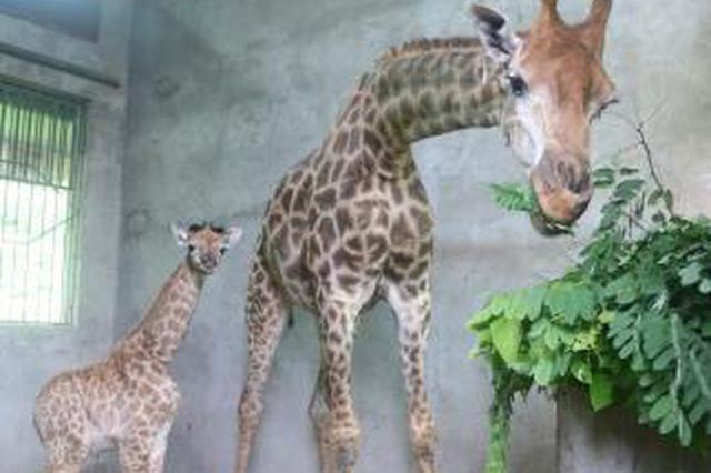 """重庆一21岁高龄长颈鹿""""再当妈"""" 15年产10只幼崽"""